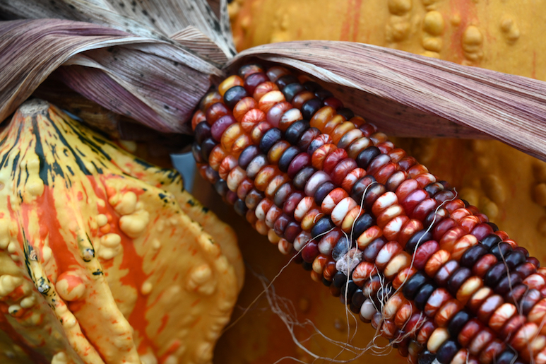 Photo of multicolored corn on the cob and a fall gourd