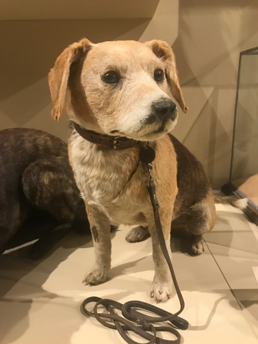 19th century taxidermy of dog with leash (Photo by author used with permission)