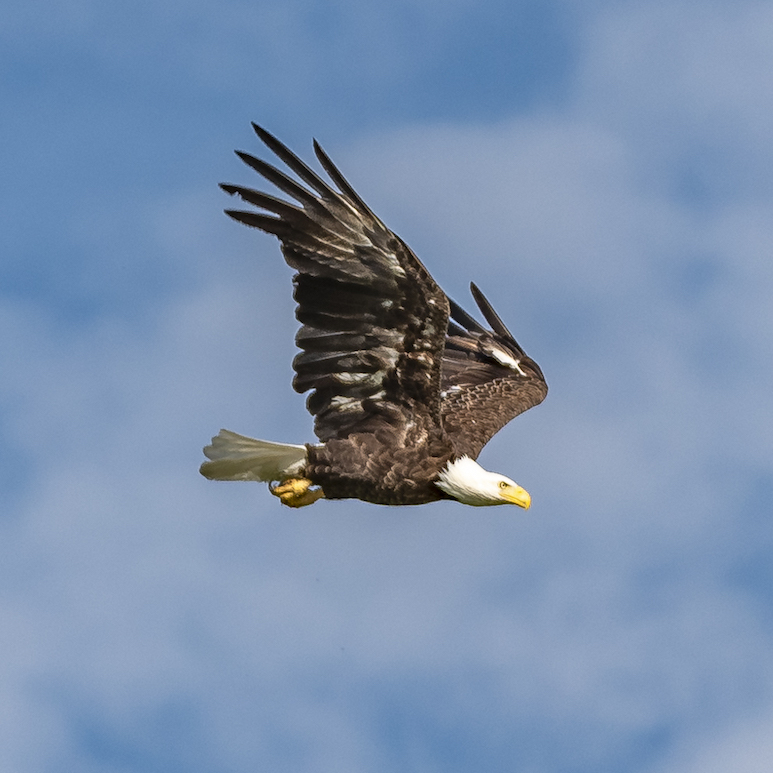 Photo of a bald eagle soaring against a blue sky